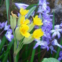 Cowslip & Chionodoxa (Chionodoxa forbesii (Glory of the snow))