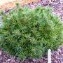Pinus parviflora 'Bunty'
