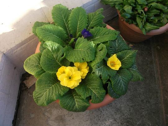 Winter Primulas