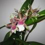 """Cambria - Oncidium Orchid  (Orchid oncidium """"Cambria"""")"""