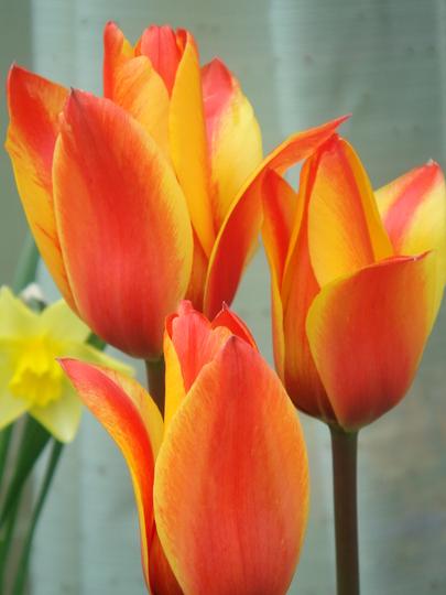Tulip Cape Cod - April 2008 (Tulip Greigii)