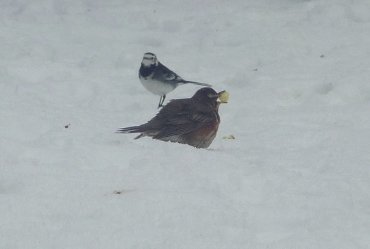 Pied Wagtail and Redwing.