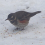 Redwing.