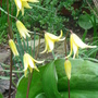 Dog's-Tooth Violets 'Pagoda' - April 2008 (Erythronium 'Pagoda')