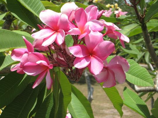 A garden flower photo (plumeria)