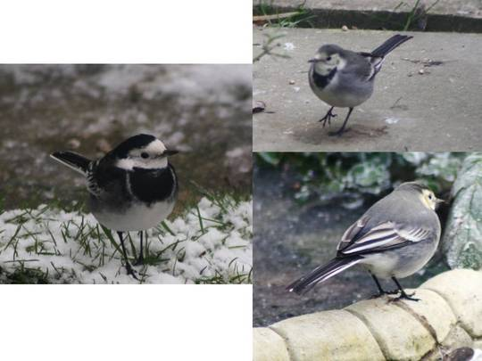 Two wagtails....
