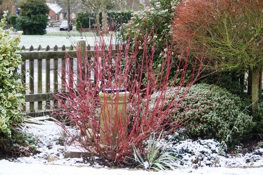 Red stemmed dogwood (Cornus alba (Red-barked dogwood))
