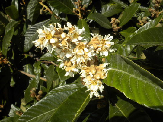 Eriobotrya japonica - Loquat Tree Flowers (Eriobotrya japonica - Loquat Tree)