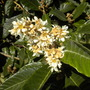 Eriobotrya japonica - Loquat Tree Flowers (Eriobotrya japonica - Loquat Tree)