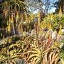 Aloe vanbalenii - Van Balen's Aloe (Aloe vanbalenii - Van Balen's Aloe)