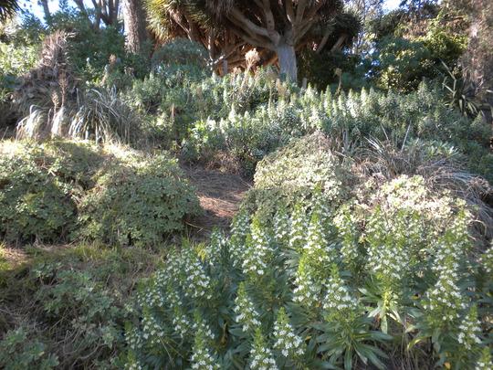 Echium giganteum - Canary Island Echium (Echium giganteum - Canary Island Echium)