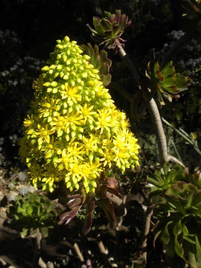 Aeonium arboreum 'Atropurpureum' - Purple Aeonium  (Aeonium arboreum 'Atropurpureum' - Purple Aeonium)