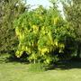 Laburnum in bloom (Laburnum anagyroides (Common Goldenchain))