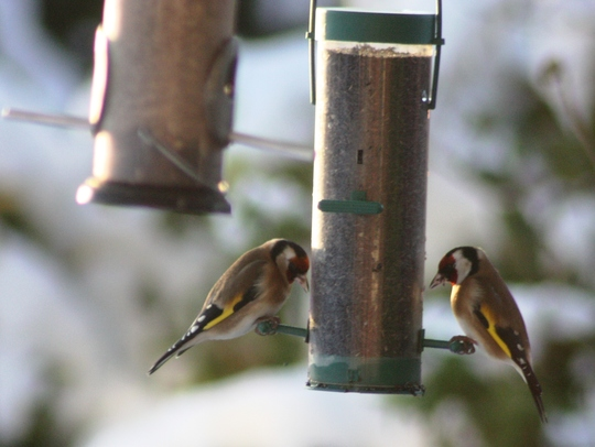 Goldfinches on niger seed feeder - January 2010