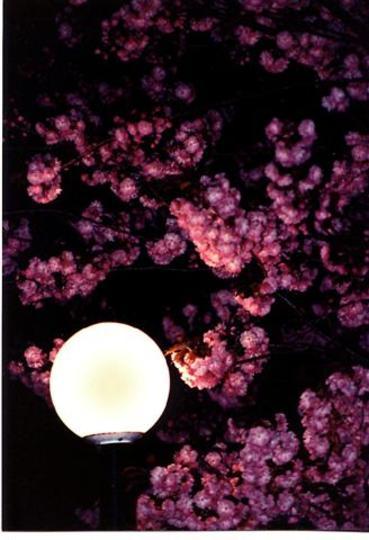 Kwanzan Flowering Cherry (Prunus serrulata, 'Kwanzan')