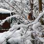 Robin on Snow on Forsythia