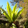 Ensete ventricosum - Abyssinian Banana