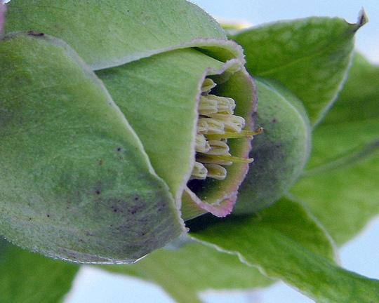Hellebore Foetidus Bud Opening