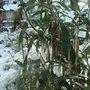 Carpenteria californica - Jan 2010 (Carpenteria californica)
