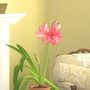First amaryllis to bloom...