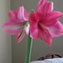 beautiful pink amaryllis
