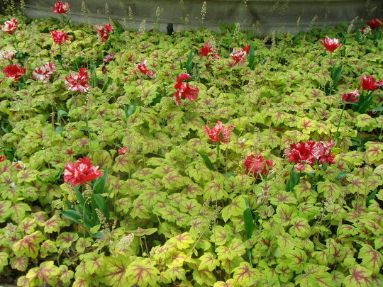 Spring bedding - Leicester Square April 2007 (Heucherella)