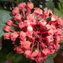 Ixora coccinea 'Maui Red' - Maui Red Ixora Bloom (Ixora coccinea 'Maui Red' - Maui Red Ixora)