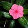 Catharanthus roseus &#x27;Lipstick Pink&#x27; - Madagascar Periwinkle &#x27;Lipstick Pink&#x27; (Catharanthus roseus &#x27;Lipstick Pink&#x27; - Madagascar Periwinkle &#x27;Lipstick Pink&#x27;)