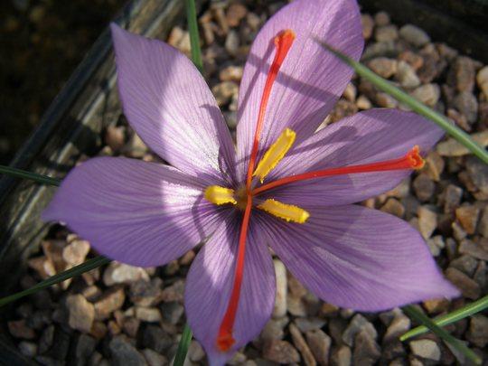 Crocus cartwrightianus (Crocus cartwrightianus)