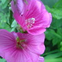 A garden flower photo (Lavatera x clementii (Tree mallow))