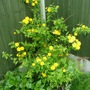 A garden flower photo (Kerria japonica (Japanese rose))