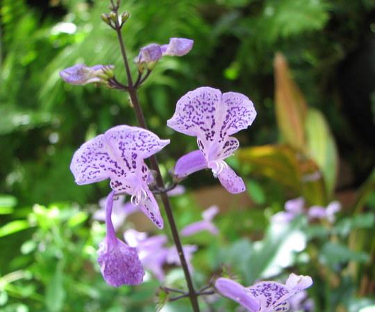 Mid-summer downunder:  Plectranthus 'Mona Lavender' flowering. (Plectranthus)