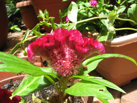 Mid-summer downunder:  Celosia cristata - Cockscomb is blooming.