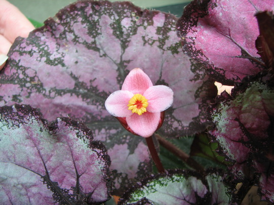 Mid-summer downunder:  Rex Begonia is flowering. (Rex Begonia)