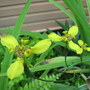 Mid-summer downunder:  Neomarica longifolia - Walking Iris - is blooming. (Neomarica longifolia)