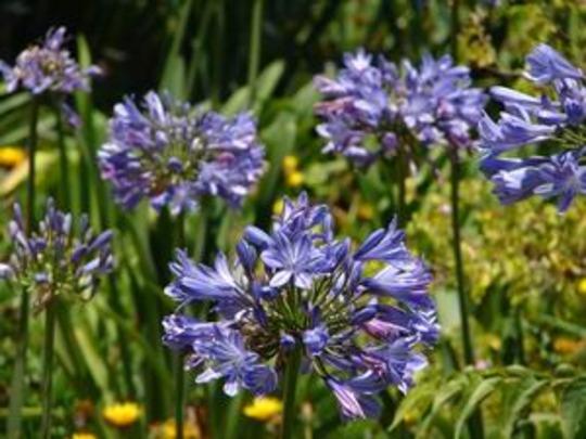 Christmas season bloom (Agapanthus africanus (African blue lily))