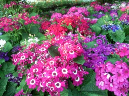 Cineraria Flower Bed (Senecio cineraria (Senecio))