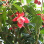 Hardy Fuchsia - Assorted