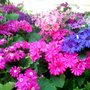 Pink and blue flowers in the cineraria beds of spring 2009 (Senecio cineraria (Senecio))
