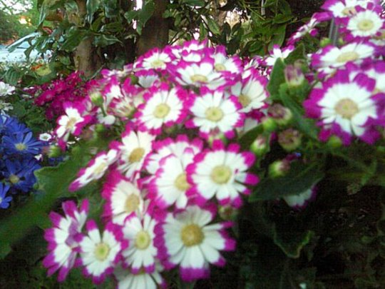 Pink/purple and white cineraria flowers (Senecio cineraria (Senecio))
