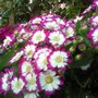 Pink/purple and white cineraria flowers (Senecio cineraria (Senecio))