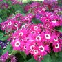 Dark pink and white cinerarias (Senecio cineraria (Senecio))