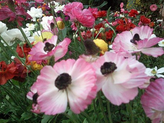 Pink and white ranunculus flowers (Ranunculus asiaticus)