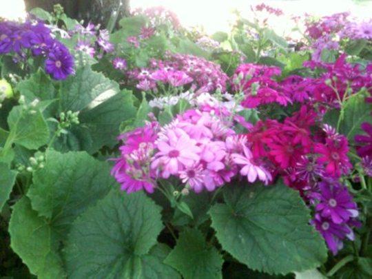 Pink, Purple and Blue Cineraria flowers (Senecio cineraria (Senecio))