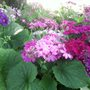 Pink, Purple and Blue Cineraria flowers (Senecio cineraria (Senecio))