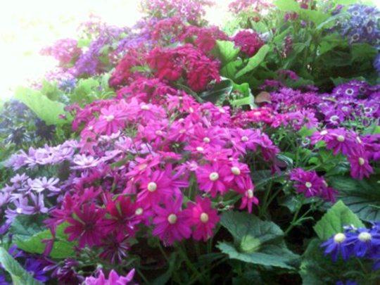 Dazzling pink cineraria flowers (Senecio cineraria (Senecio))