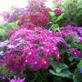 Pink_purple_and_blue_cinerarias