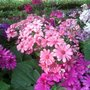 Pink, white, purple and blue cineraria flowers (Senecio cineraria (Senecio))