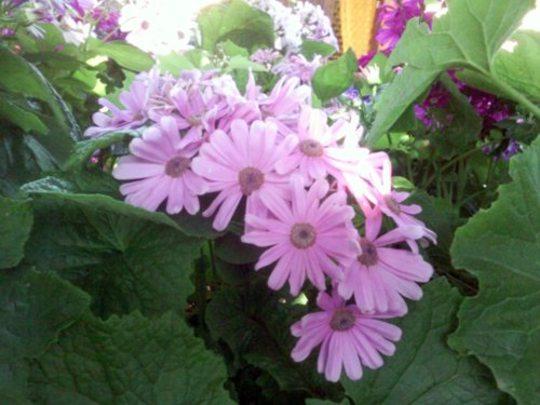 Pretty pink cineraria flowers (Senecio cineraria (Senecio))
