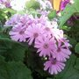 Pretty_pink_cinerarias